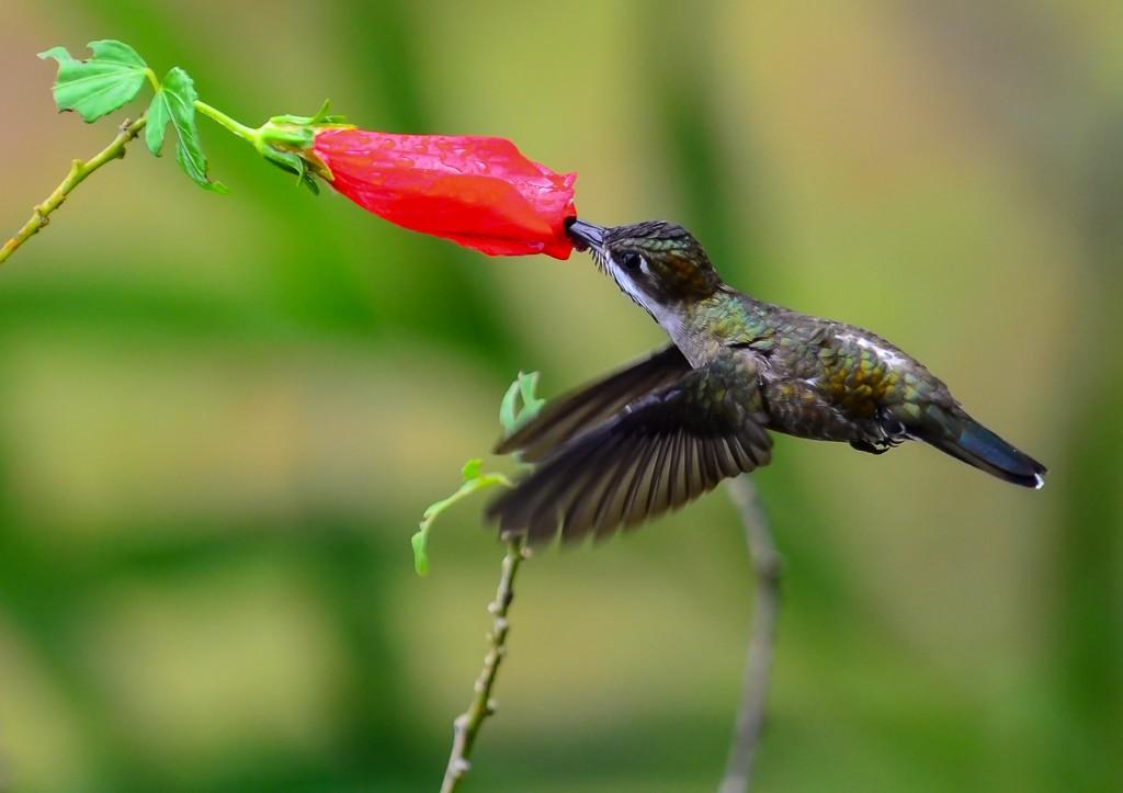 Nicaragua Rainforest - Humming bird sipping nectar
